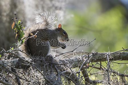squirrel eating in an oak tree
