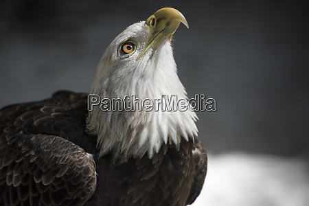 bald eagle close up looking up