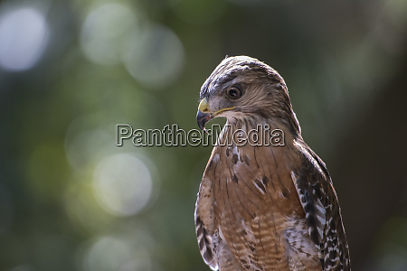 portrait of a perched hawk with