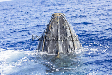 humpback whale megaptera novaeangliae whale watching
