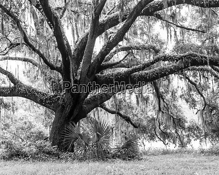 beautiful, southern, live, oak, tree, , quercus - 27340268