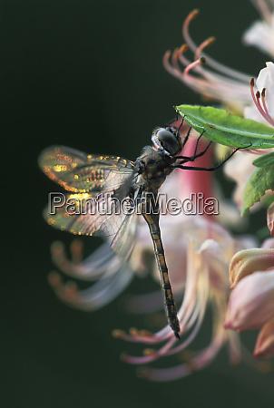 usa, , georgia, , close-up, of, dragonfly, backlit - 27340726