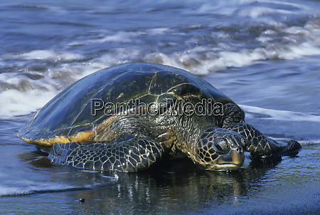 hawaiian green sea turtle chelonia mydas