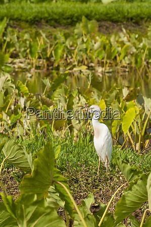 cattle egret bubulcus ibis in taro
