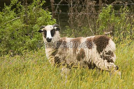 galena illinois usa horned dorset sheep