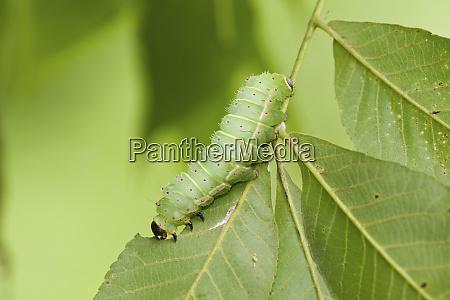 luna moth actias luna caterpillar on