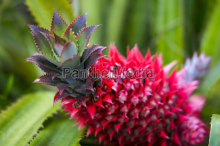 usa hawaii maui pineapple bromeliad growing