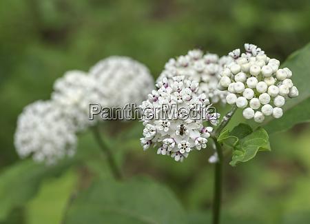 redring milkweed white flowered milkweed asclepias