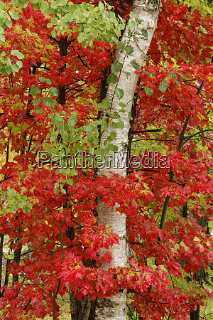 red maple leaves in autumn and