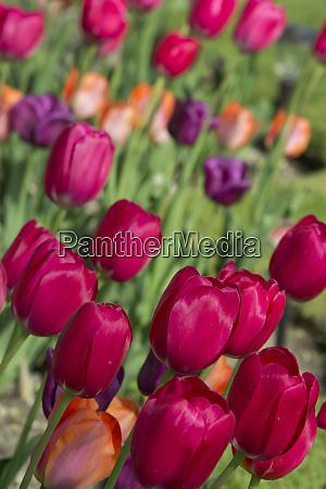 michigan bright tulips