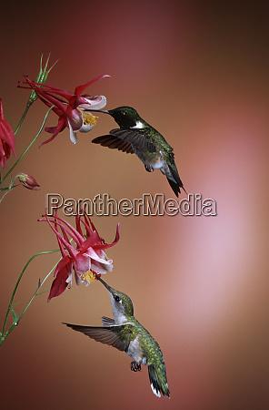 ruby throated hummingbirds archilochus colubris male