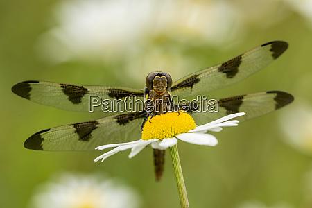 female blue dasher dragonfly on daisy