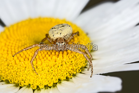 crab spider o daisy flower kentucky