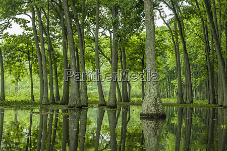 usa louisiana millers lake tupelo trees