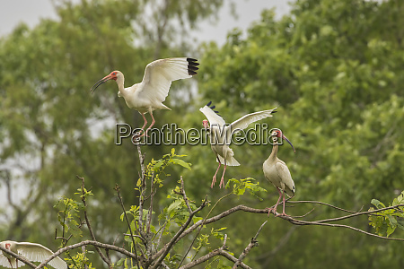 usa louisiana millers lake white ibis