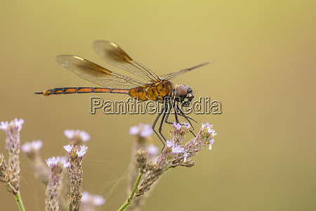 usa louisiana millers lake dragonfly on