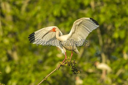 usa louisiana evangeline parish white ibis