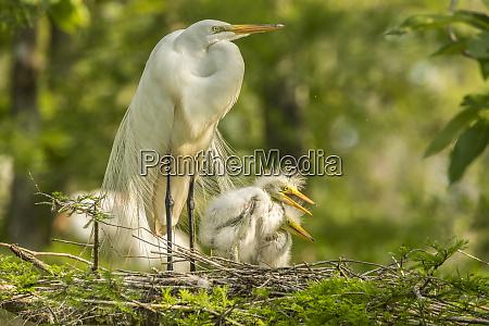 usa louisiana evangeline parish great egret
