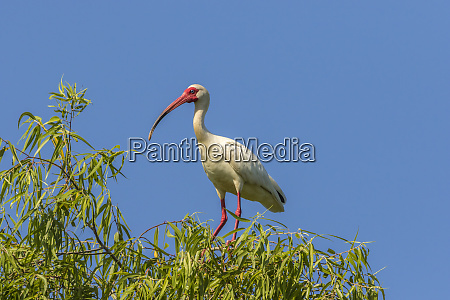 usa louisiana evangeline parish white ibis