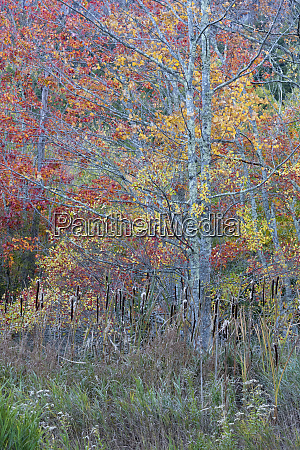 usa maine colorful autumn foliage in