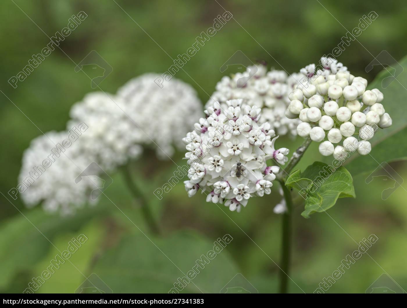 redring, milkweed, , white-flowered, milkweed, , asclepias, variegata, - 27341383