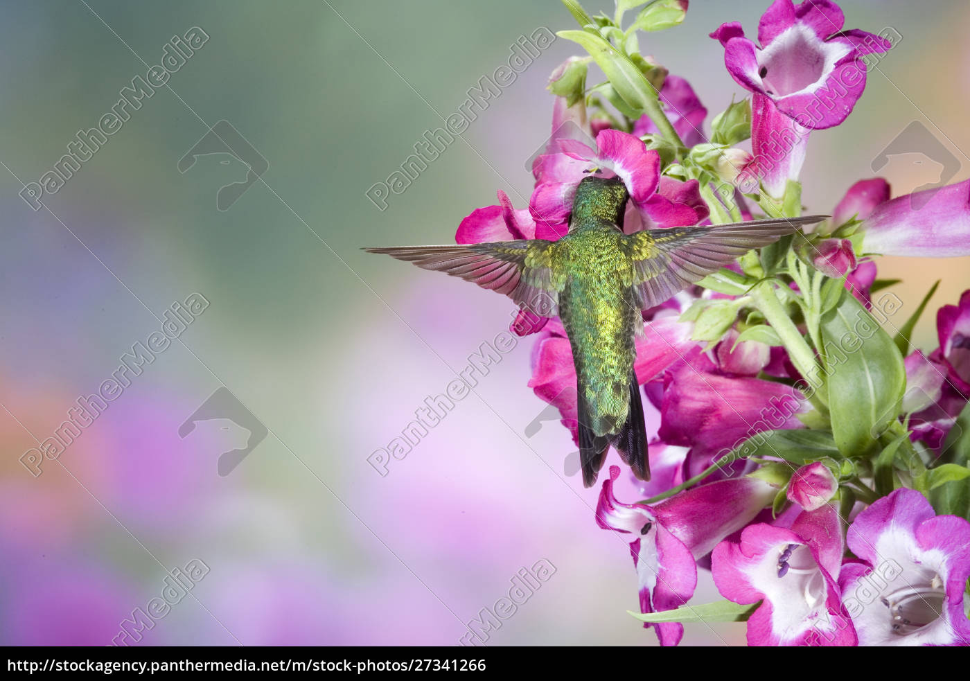 ruby-throated, hummingbird, (archilochus, colubris), male, at - 27341266