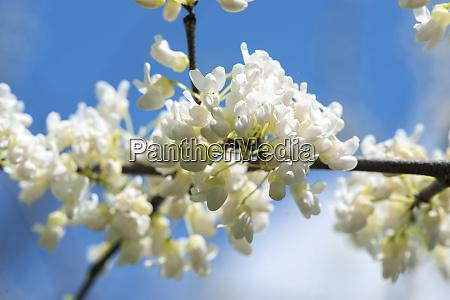 usa massachusetts boston arnold arboretum white