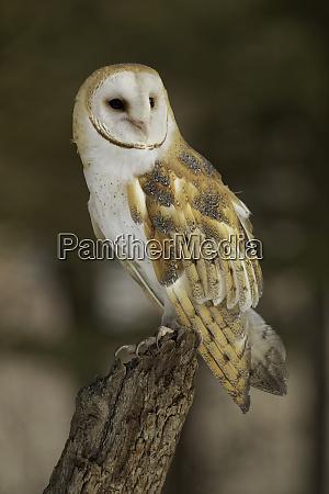 barn owl tyto alba captive montana