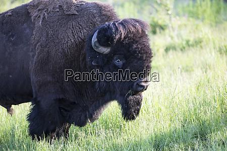 usa montana national bison range bison