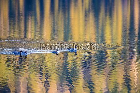 common merganser family swims through reflection