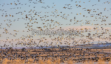 snow geese and northern pintail ducks