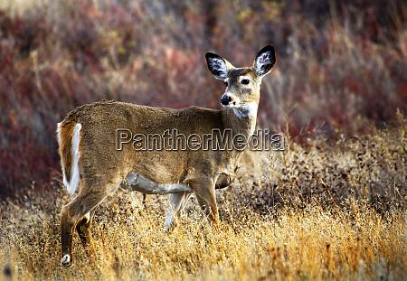 white tail deer national bison range