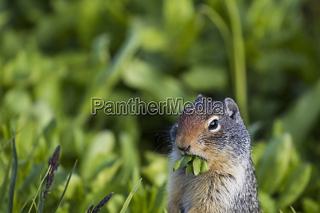 ground squirrel lunch grass
