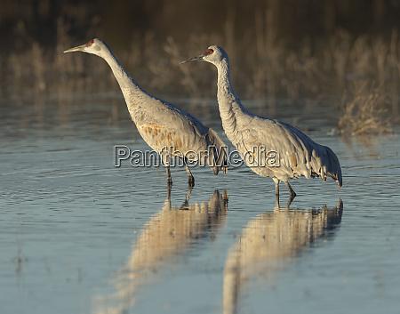sandhill cranes at dawn grus canadensis