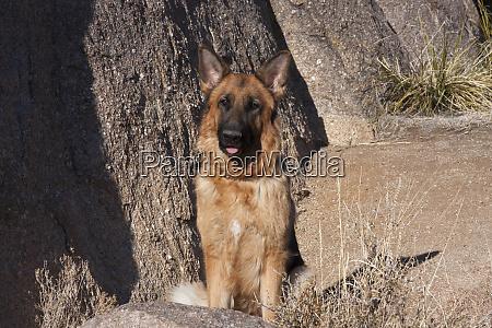 german shepherd posing on rocks mr