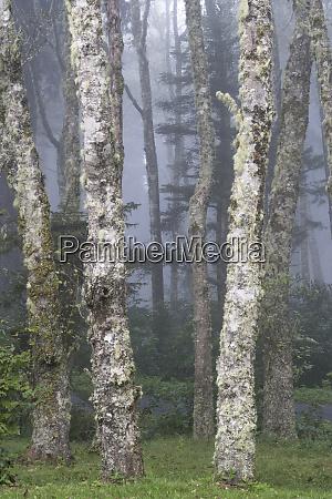 usa oregon florence trees and fog