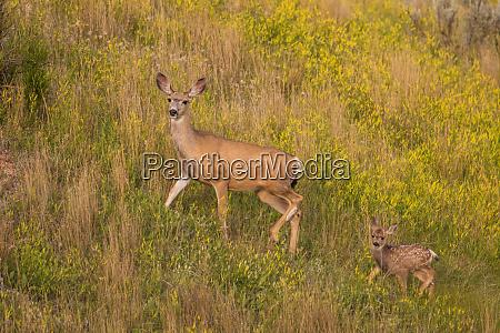 mule deer doe with newborn fawn