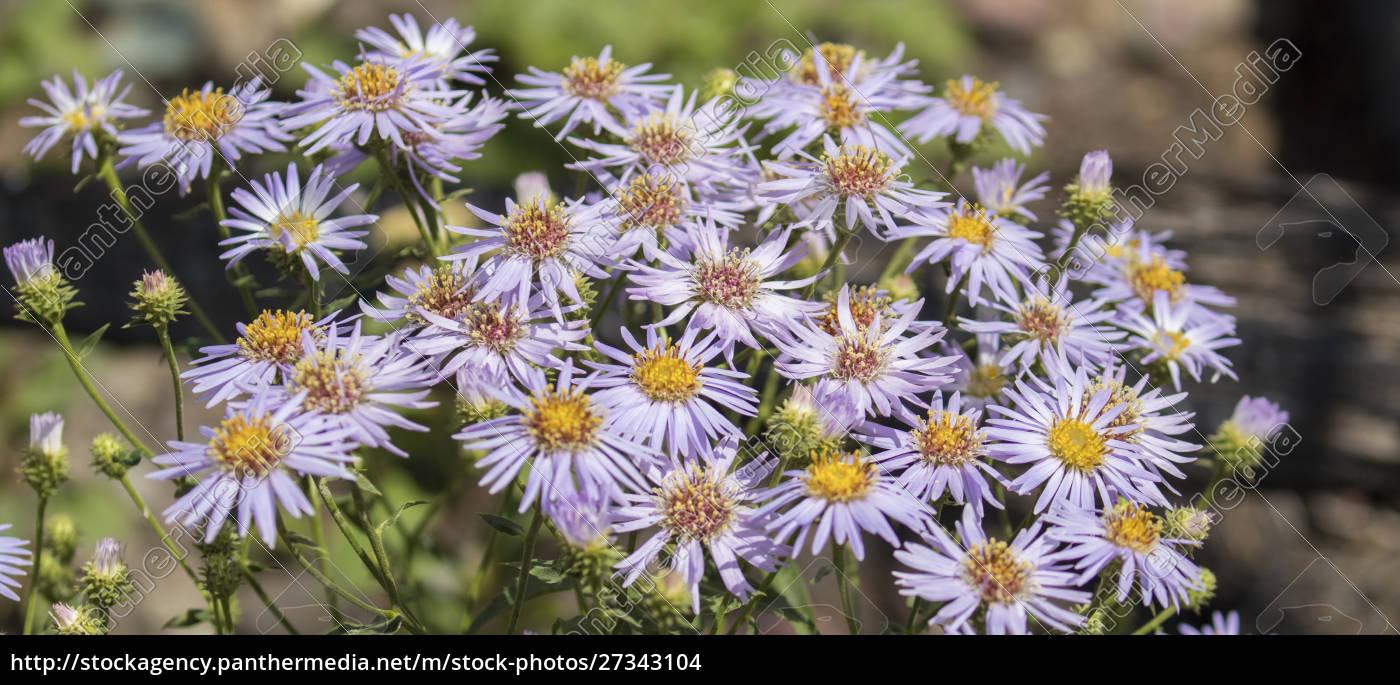 glacier, national, park, , montana., alpine, flower - 27343104