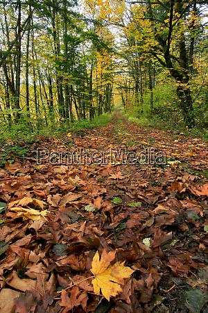 usa oregon big leaf maples in
