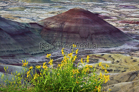 yellow flowers painted hills john day