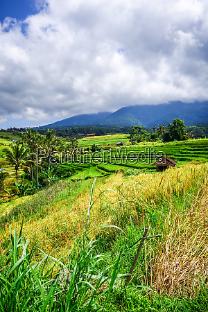 jatiluwih paddy field rice terraces bali