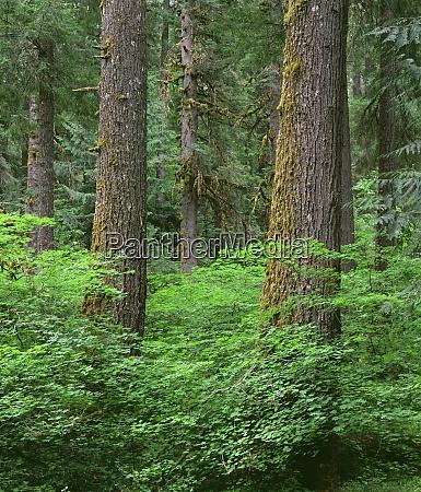 usa oregon willamette national forest springtime