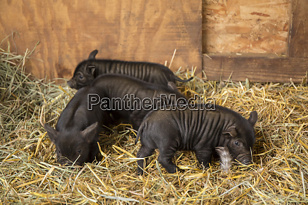 hood river oregon usa three piglets