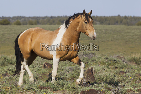 wild horses strutting stallion