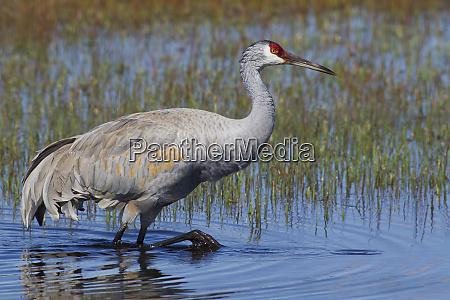sandhill crane foraging in flooded farmers