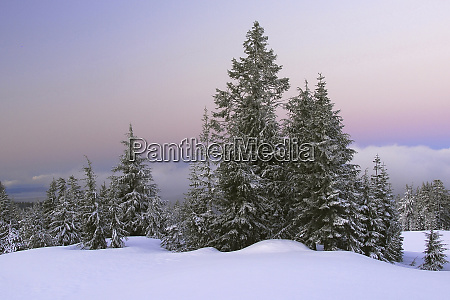snowy evergreens at dawn in crater