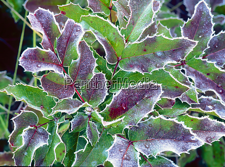 frost covered wild oregon grape leaves