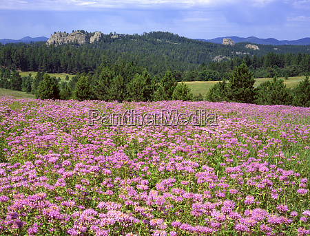 usa south dakota black hills blooming