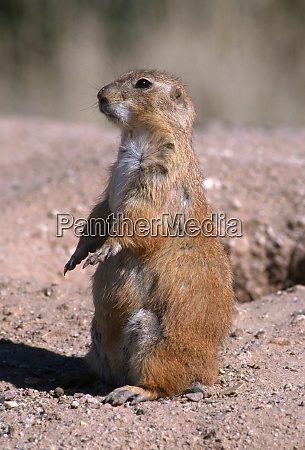 black tailed prairie dog cynomys ludovicianus