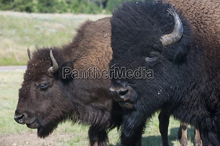 buffaloes south dakota usa